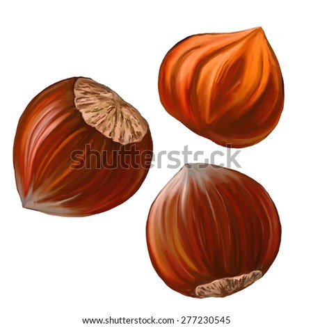 hazelnuts vector illustration  hand drawn  painted watercolor  - stock vector