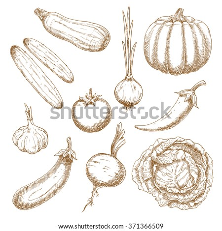 Healthy garden tomato, sprouted onion, chilli pepper, cabbage, eggplant, pumpkin, cucumbers, garlic, beet and zucchini vegetables. Vegetables sketch icons for old fashioned recipe book or menu design - stock vector