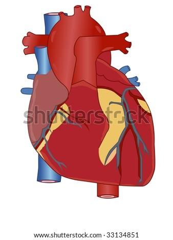 Heart Anatomy - stock vector