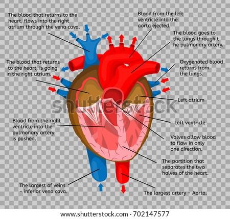 Heart body terms animation structure isolated stock vector royalty heart of body in terms of animation structure isolated on a transparent background vector illustration ccuart Choice Image