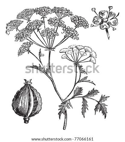 Hemlock or Poison Hemlock or Conium maculatum, vintage engraving. Old engraved illustration of Hemlock. Trousset Encyclopedia - stock vector