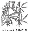 Hemp, Cannabis sativa, Cannabis indica, Cannabis ruderalis, or Chanvre vintage engraving. Old engraved illustration of a Hemp. Male plant (left). Female plant (right). - stock photo
