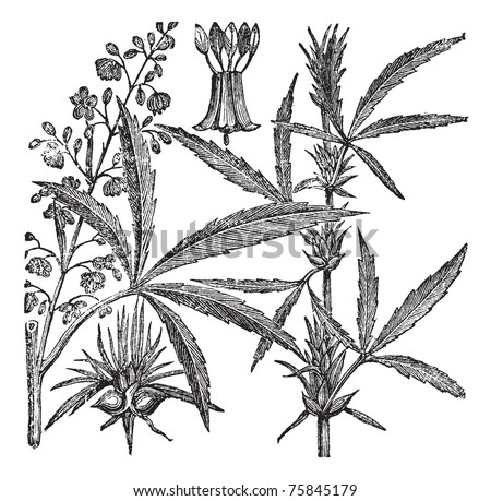 Hemp, Cannabis sativa, Cannabis indica, Cannabis ruderalis, or Chanvre vintage engraving. Old engraved illustration of a Hemp. Male plant (left). Female plant (right). - stock vector