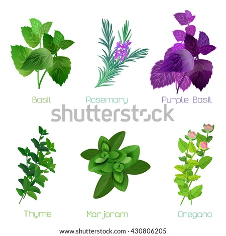 Herbs and spices: collection of kitchen and healing herbs. Vector illustration. Herbs isolated on white. - stock vector
