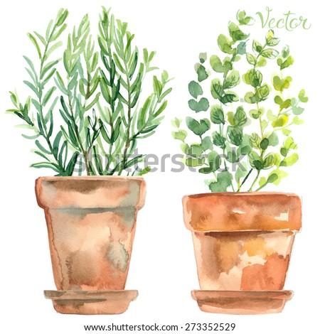 Herbs in a flowerpot. Oregano in a pot. Rosemary in a pot. Herbs painted with watercolors on white background - stock vector