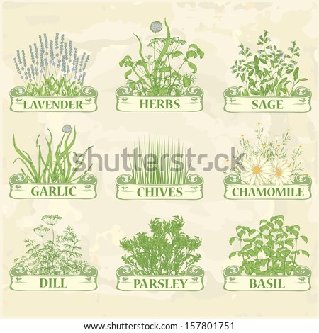herbs,lavender,chamomile, chives, garlic, parsley, dill, sage and basil, herbal vintage background - stock vector