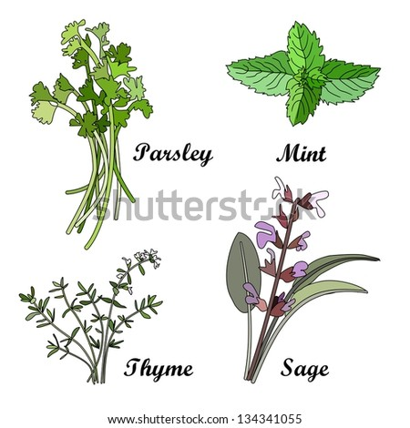 Herbs set, vector illustration - stock vector
