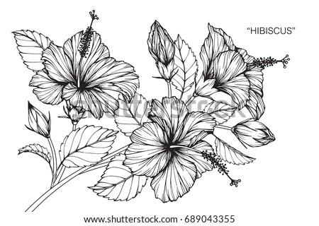 Hibiscus Stock Images,...