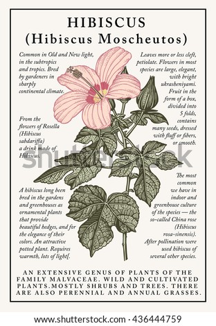 Hibiscus, mallow. Beautiful baroque blooming  realistic isolated garden flowers. Vintage greeting invitation card. Frame, label. Drawing engraving. Freehand. Floral. Vector victorian Illustration. - stock vector