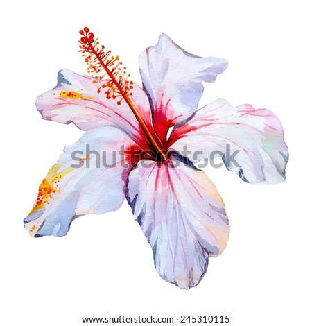 Hibiscus, watercolor tropical flower, isolated on white vector illustration - stock vector