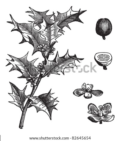 Holly or Ilex aquifolium or European holly or Christmas holly or Mexican holly, vintage engraving. Leaves and fruit isolated on a white background.  Trousset encyclopedia (1886 - 1891). - stock vector