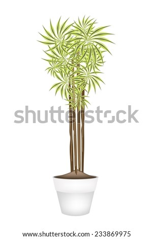 Home Interior, An Illustration of Beautiful Dracaena Plant or Yucca Tree in Terracotta Flower Pots for Garden Decoration.