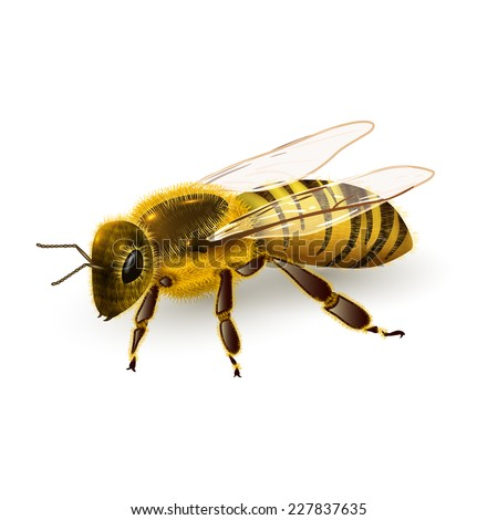 Honey bee striped wasp insect realistic on white background vector illustration - stock vector