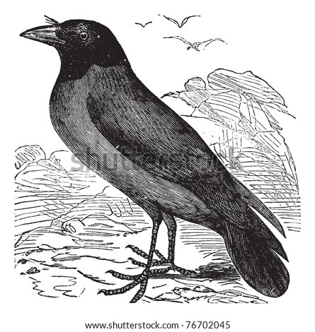 Hooded Crow or Hoodiecrow or Corvus cornix, vintage engraving. Old engraved illustration of a Hooded Crow. Trousset Encyclopedia - stock vector