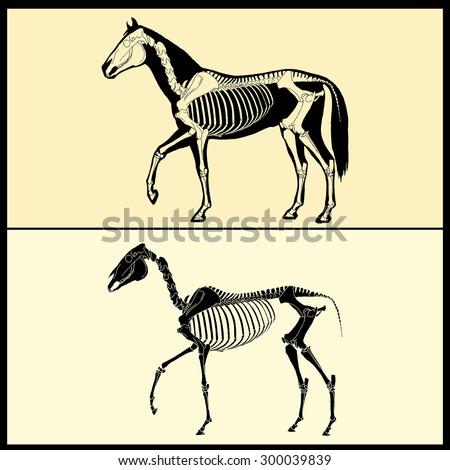 Horse skeleton - stock vector