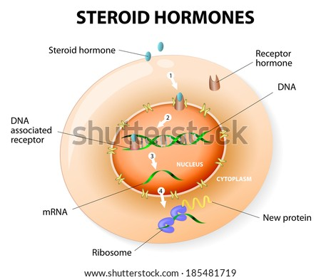How work steroid hormones respond. Steroids Bind to an intracellular receptor. this complex activates gene transcription, cause a protein to be manufactured. Vector diagram - stock vector