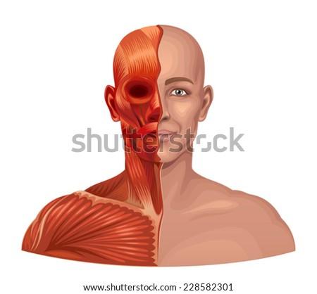 Human anatomy  - stock vector