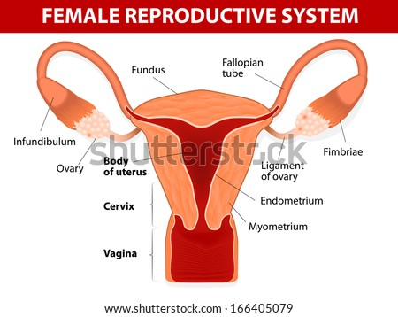 Human anatomy. female reproductive system. Uterus and uterine tubes. Vector diagram.  - stock vector