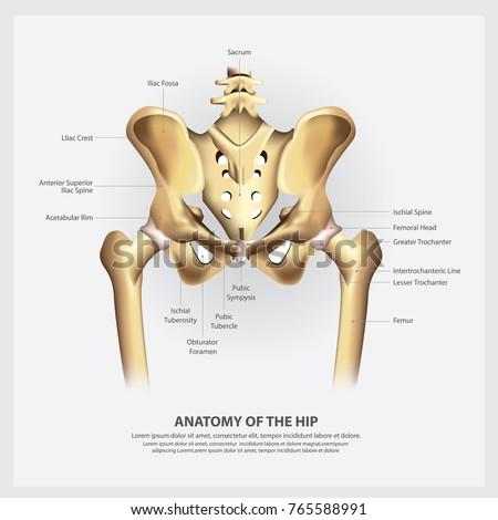 Human hip anatomy
