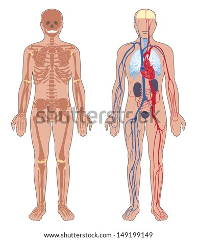 Human anatomy. Set of vector illustration isolated on white background. Human body structure: skeleton and  circulatory vascular system.  - stock vector