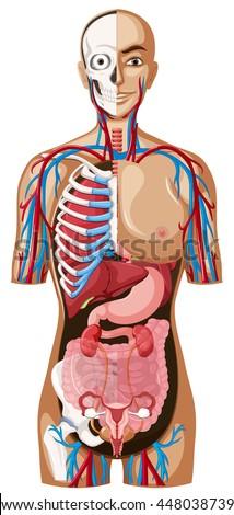 Human anatomy technical illustration - stock vector