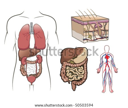 Human Anatomy Vector - stock vector