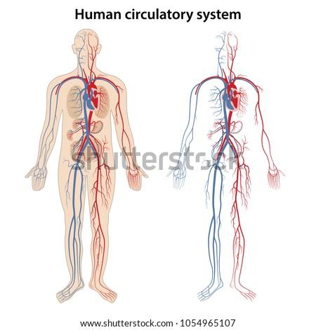 Human Arterial Venous Circulatory System Vector Stock Vector 2018
