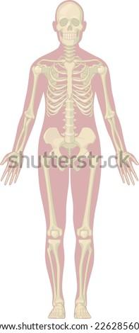 Human Body Anatomy - Skeleton - stock vector