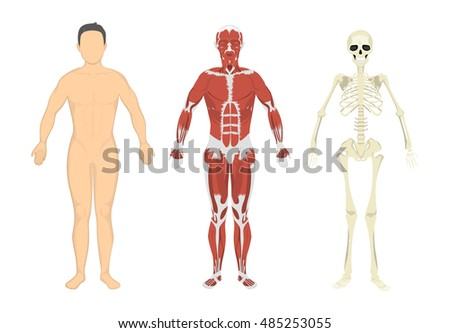 Human body, muscles and skeleton. Human anatomy set.