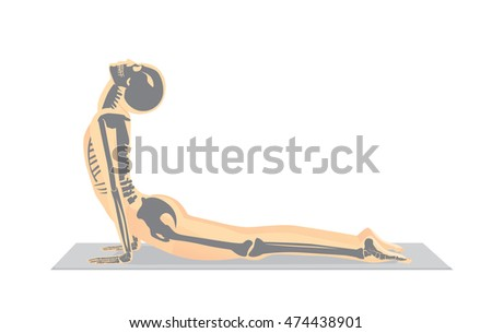 Human bone anatomy while Yoga workout in cobra posture. This illustration about medical and sport.