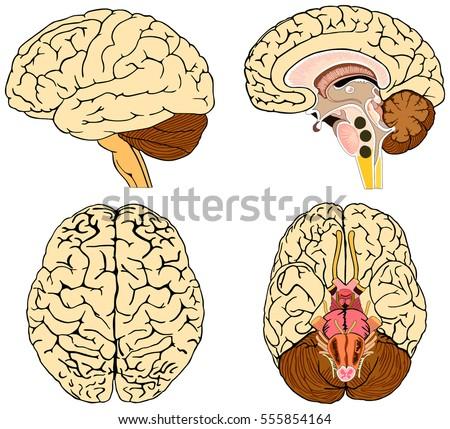 Human Brain Anatomy Collection Set Anterior Stock Vector 555854164