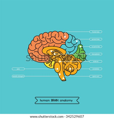 Human brain anatomy structure human brain stock vector royalty free human brain anatomy structure human brain stock vector royalty free 342529607 shutterstock ccuart Images