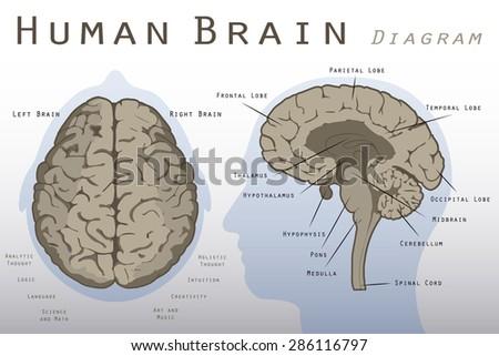 Human Brain Diagram Stock Vector Hd Royalty Free 286116797