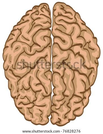 human brain isolated - illustration - stock vector