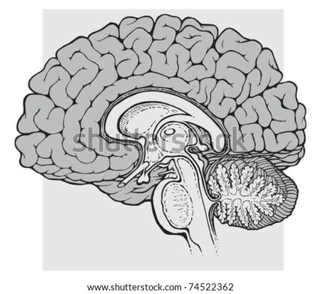 Human Brain Sagittal View Medical Schematic Stock Vector 74522362
