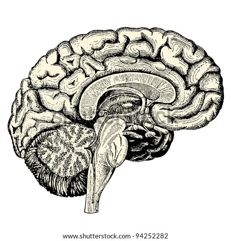 "Human brain - vintage engraved illustration - ""Manuel des hospitalière et des garde-malaldes""  edited by  Librairie Poussielgue - Paris 1907 - stock vector"