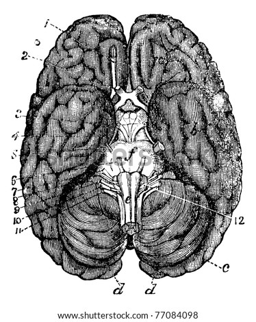 Human brain vintage engraving. Old engraved illustration of human brain parts numbered. Trousset encyclopedia. - stock vector