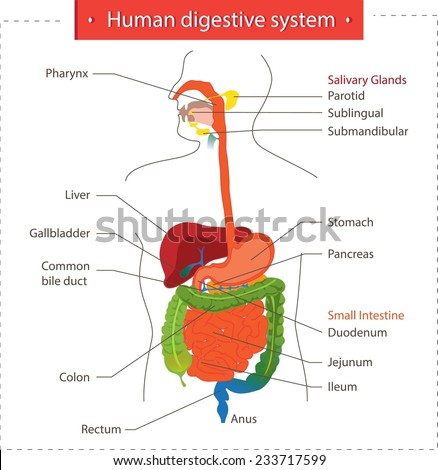 Human digestive system. - stock vector
