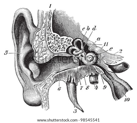 Human ear anatomy / vintage illustrations from Die Frau als Hausarztin 1911 - stock vector