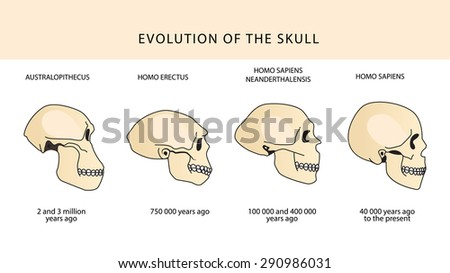 Human Evolution Of The Skull And Text With Dating. Evolution Of The Skull. Human Skull. Australopithecus, Homo Erectus. Neanderthalensis, Homo Sapiens. Historical Illustrations. Darwin'S Theory. - stock vector