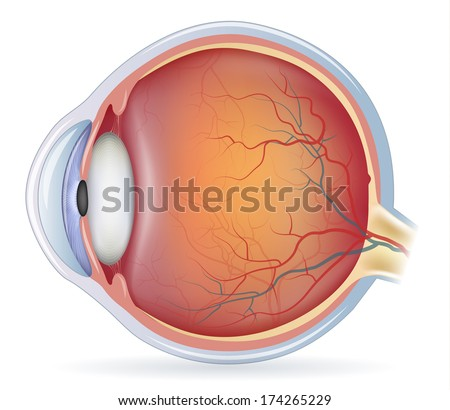 Human eye anatomy, detailed illustration. Isolated on a white background. - stock vector