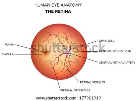 Human eye anatomy, retina, optic disc artery and vein etc. detailed illustration.  - stock vector