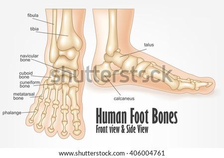 Human skeleton foot side - photo#4
