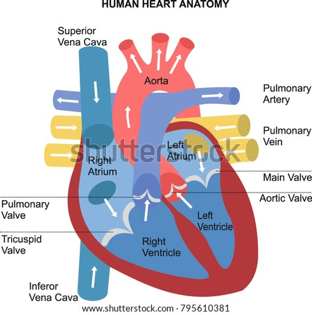 Superior Vena Cava Stock Images, Royalty-Free Images ...