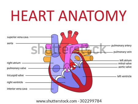 Human Heart Anatomy Schematic Diagram Vector Stock Vector 302299784