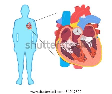 Human Heart Anatomy Silhouette - stock vector