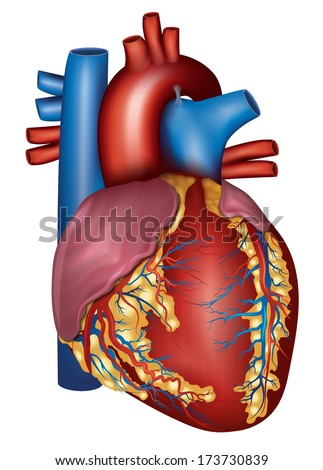 Human heart detailed anatomy, isolated on a white background. Medical illustration. - stock vector
