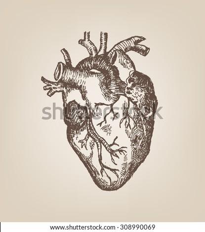 Human Heart Hand Sketch Style. Vintage Editable Clip Art. - stock vector