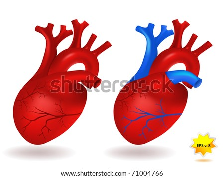 Human heart model - stock vector
