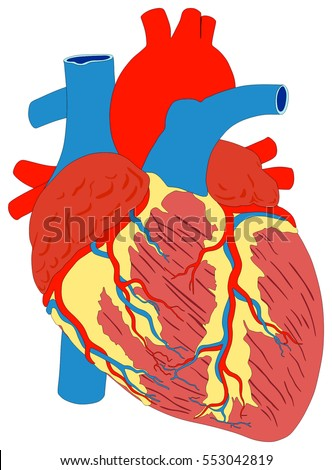 human heart muscle structure anatomy infographic stock vector, Muscles